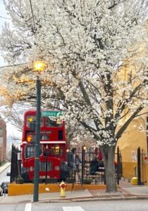 red bus serving coffee under white pear tree