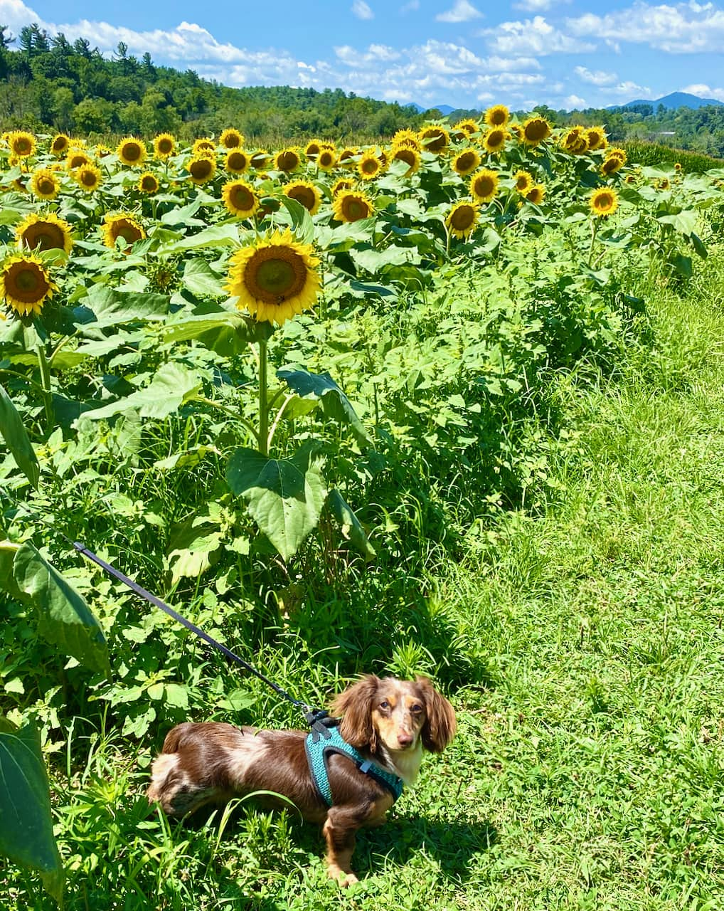 Reesey, the dapple dachshund in the field of sunflowers at Biltmore Estate